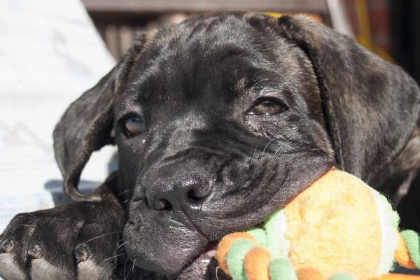 The firs two months of your Cane Corso puppy's life is a period of quick, extreme growth bursts
