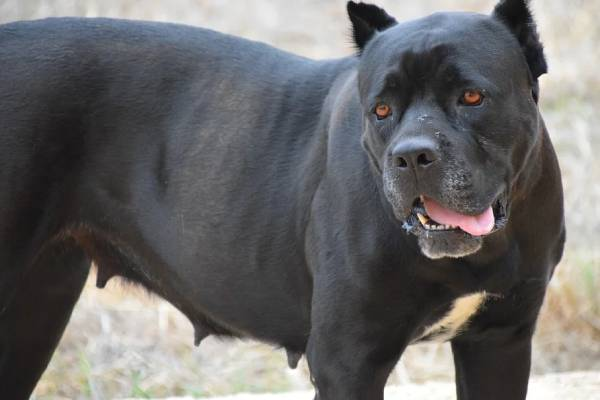 A well-raised Cane Corso will be very attentive to their owner and loves to please their people