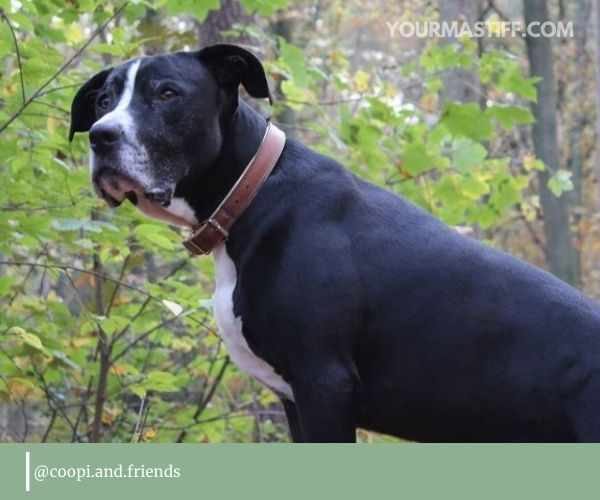 Cane Corso Pitbull mix only came into the limelight 5-10 years ago