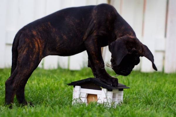 Cane Corso can eat you out of your house.