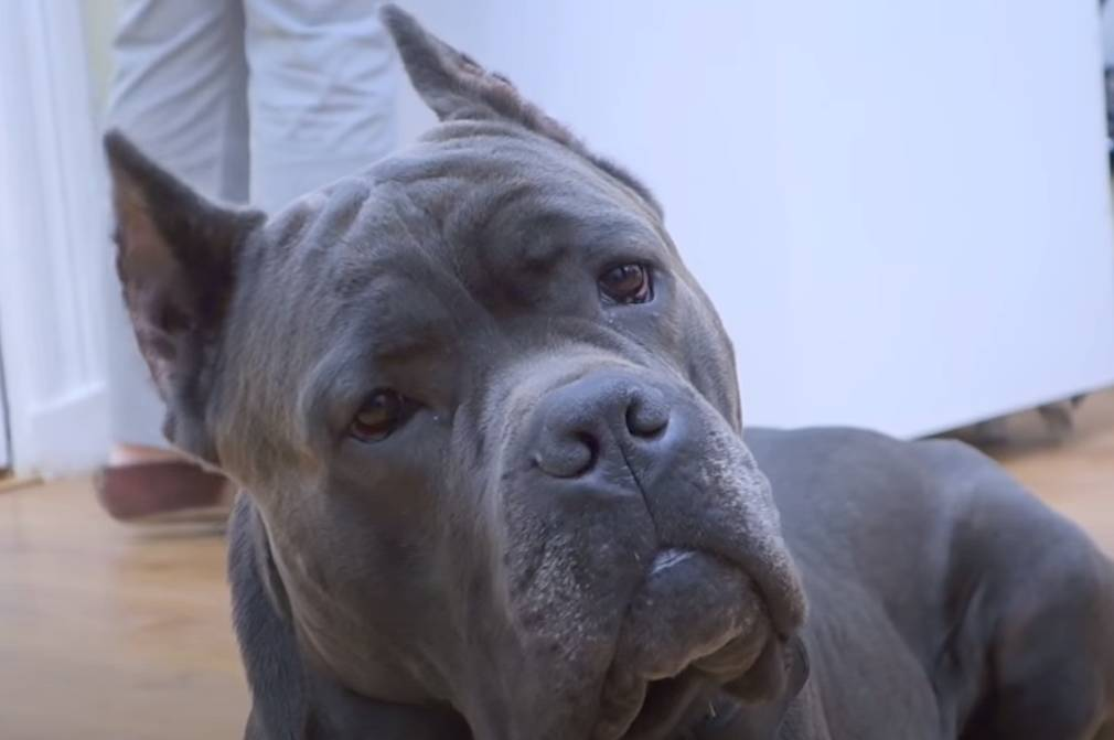 Cane Corso price will depend on several important factors