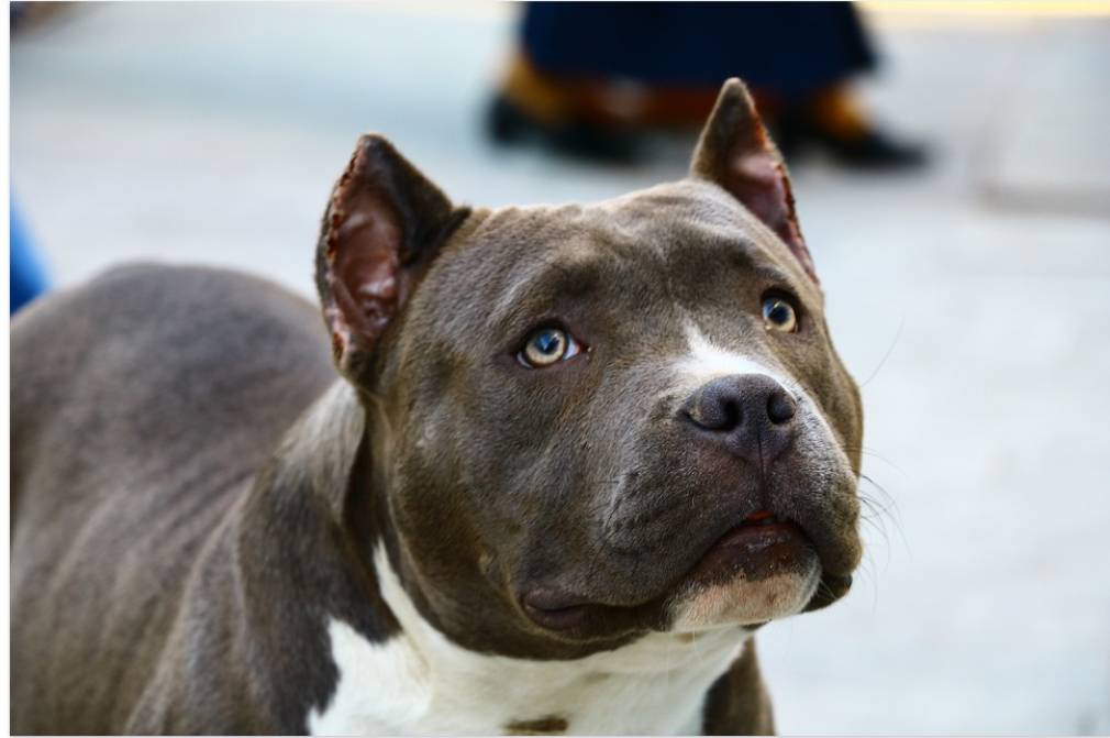 """Cane Corso Pitbull Mix is a very """"new"""" cross breed that only recently came on the radar of dog lovers"""