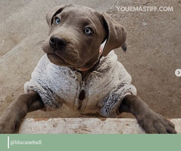 Pitbull mixed with Cane Corso: personality