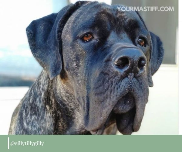 Cane Corso's ears are triangular-shaped