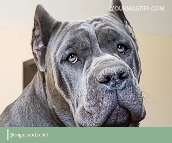 Cane Corso's eyes are something you will need to watch.