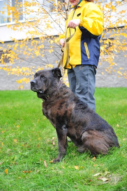 With a serious and powerful dog like Cane Corso Rottweiler Mix, training is absolutely necessary