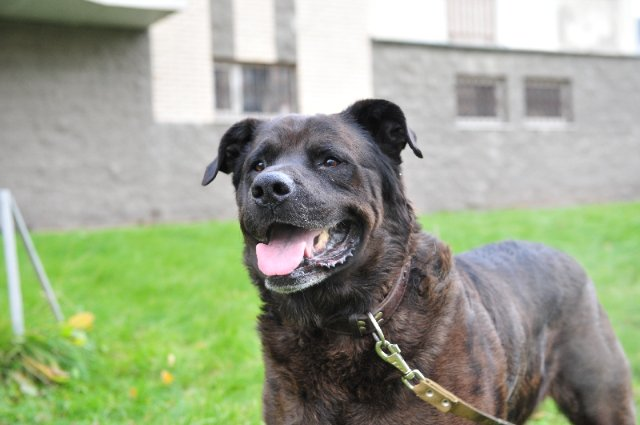 Cane Corso Rottweiler Mix will inherit the qualities that separate both Rottweilers and Cane Corso from the rest of the dog world
