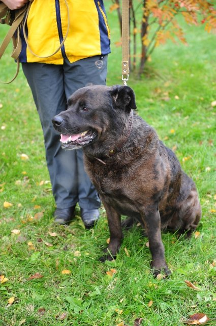 Cane Corso Rottweiler Mix can be extremely attached to their owners, and their devotion is limitless