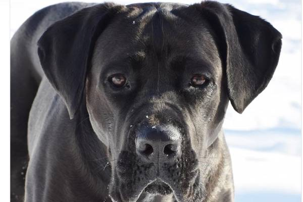 Cane Corso/Italian Mastiff is a large, powerful, athletic dog: massive, but elegant at the same time