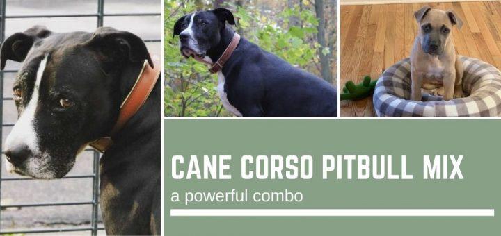 Cane Corso Pitbull Mix: a powerful combo
