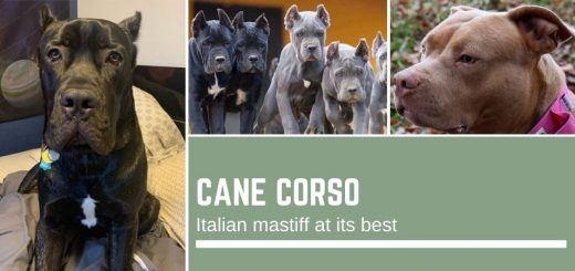 Cane Corso: Italian mastiff at its best