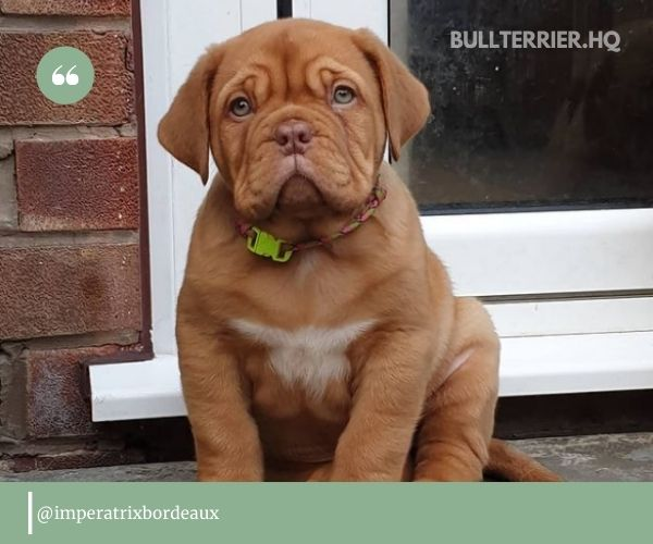 Dogue de Bordeaux - one of the most ancient dogs coming from France