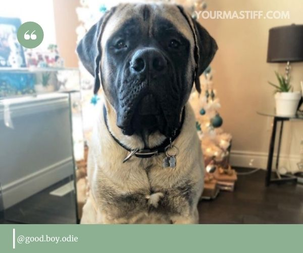 As one of the Mastiff breeds, English Mastiff is a large dog