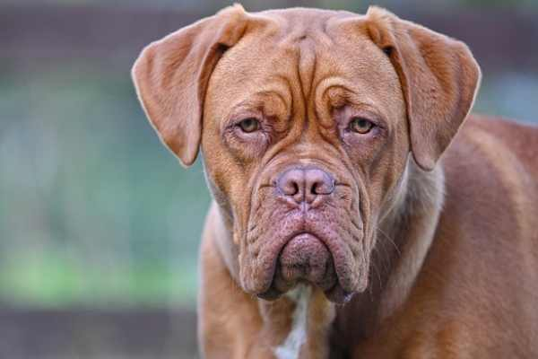 Dogue de Bordeaux, like other mastiffs, is a large, muscular dog with proportionate body and large square looking head