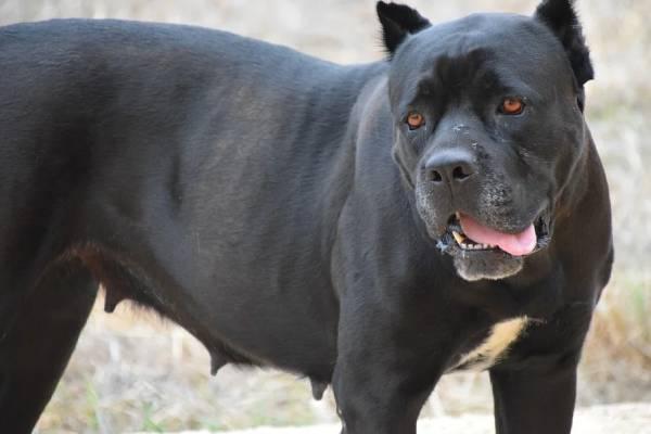 Cane Corso puppies for sale in Louisiana
