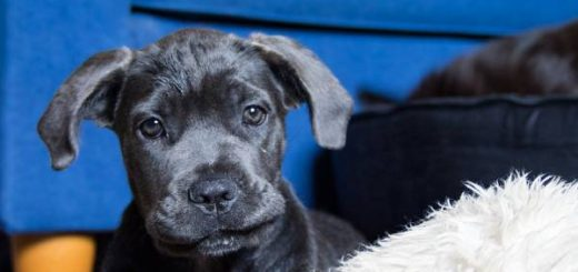 Finding Cane Corso Puppies for sale