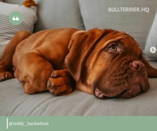 Dogue de Bordeaux, like other mastiffs, is a large, muscular dog