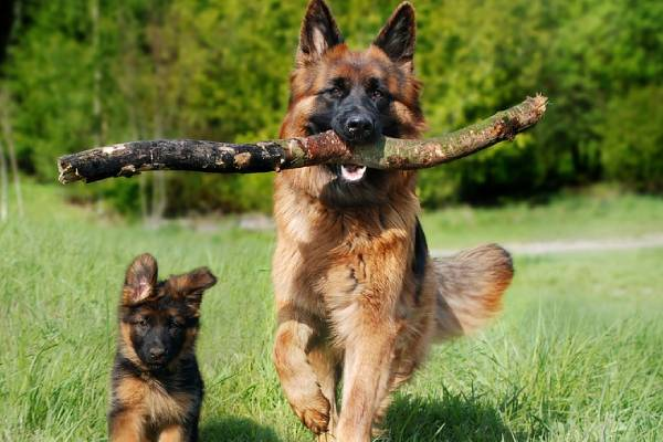 German Shepherds are a younger breed that first originated in Europe.