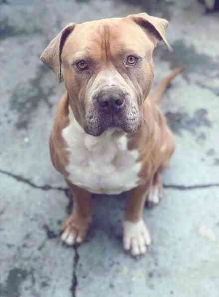 Mastiff Pitbull Mix Puppy