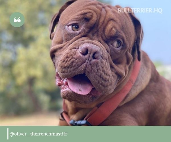 rench Mastiff is extremely attached to their owners