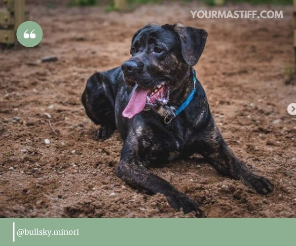 types of work you want your Cane Corso German Shepherd mix to do