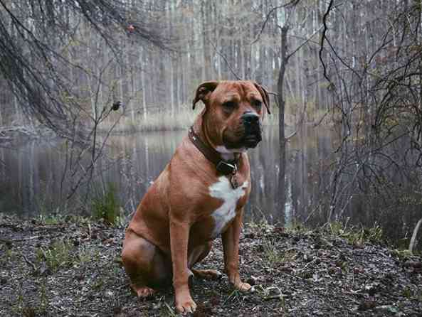 Mastiff mixed with Pitbull: physical appearance