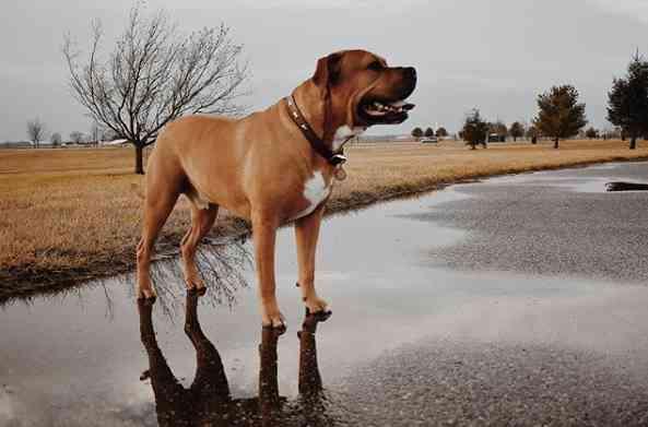 Pitbull Mastiff Mix is a very intelligent dog