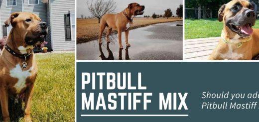 Mastiff mixed with Pitbull? Should you adopt a Pitbull Mastiff mix?