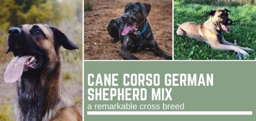Cane Corso German Shepherd mix
