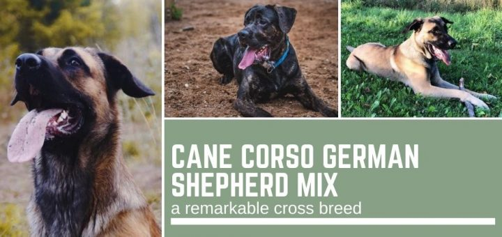 Cane Corso German Shepherd mix