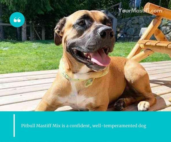 Pitbull Mastiff Mix is a confident, well-temperamented dog