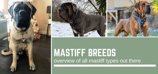 Mastiff breeds: an overview of all mastiff types out there