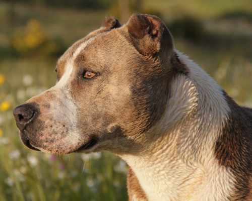 Pitbulls originated from the cross of two other breeds: Old English Terriers and Old English Bulldogs
