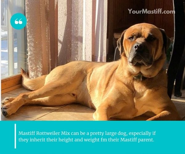 Mastiff Rottweiler Mix appearance