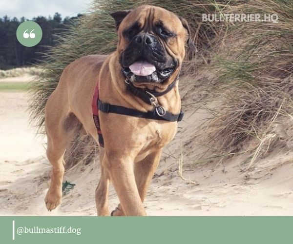 Bullmastiff Pitbull Mix: what can you expect