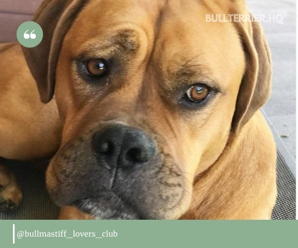 Your Bullmastiff Pit Mix may inherit a more dominating character