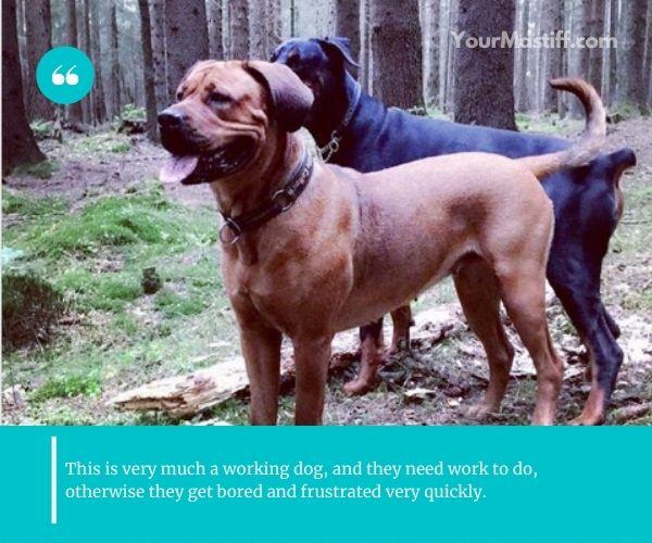 Mastiff Rottweiler Mix is very active dog