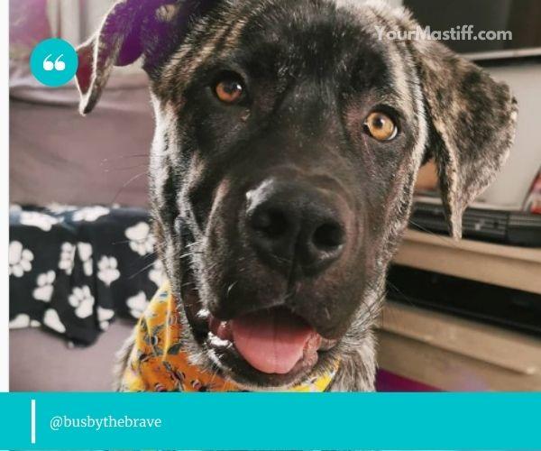 Mastiff Husky Mix inherits a tendency to howl
