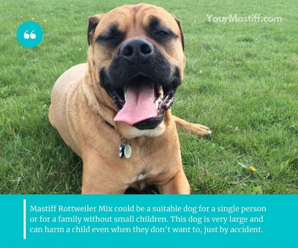 Mastiff Rottweiler Mix will usually be fairly safe around your own children