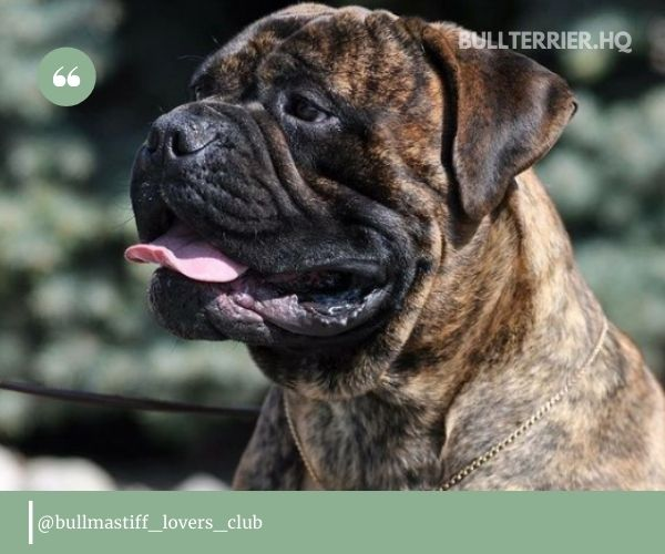 A Bullmastiff Pit Mix can certainly look intimidating