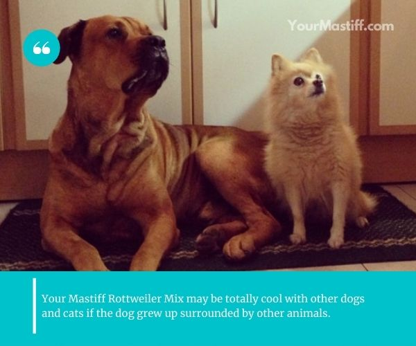 Mastiff Rottweiler Mix may be totally cool with other dogs and cats