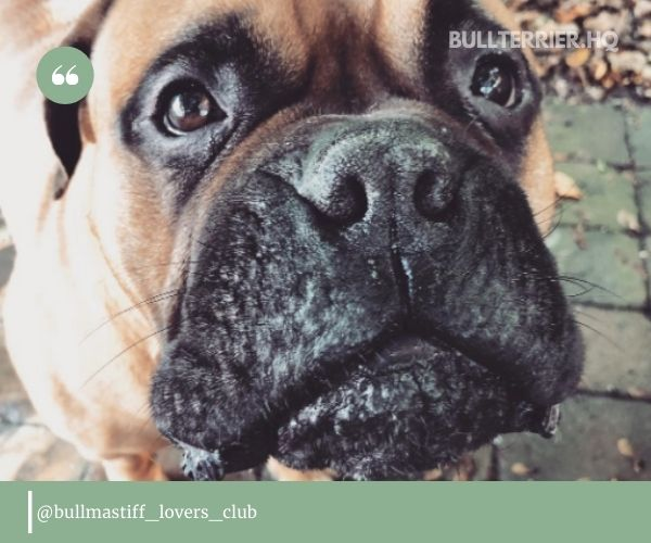 You can expect this from your Bullmastiff Pit Mix as well