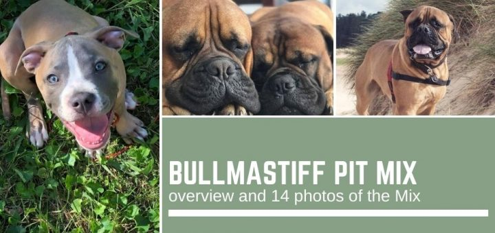 Bullmastiff Pit Mix: overview and 14 photos of the Mix
