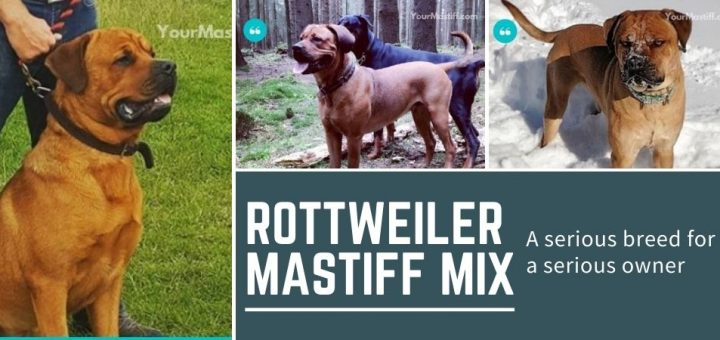 Mastiff Rottweiler Mix: a serious breed for a serious owner