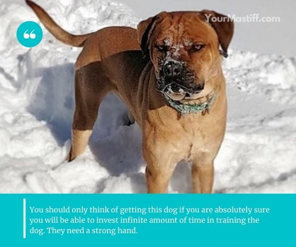 Training is absolutely crucial for Mastiff Rottweiler Mixes