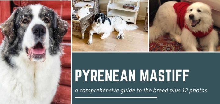 Pyrenean Mastiff: a comprehensive guide