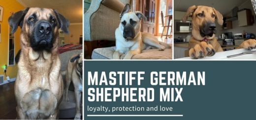 Mastiff German Shepherd Mix