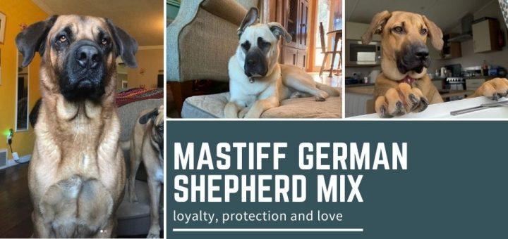 Mastiff German Shepherd Mix