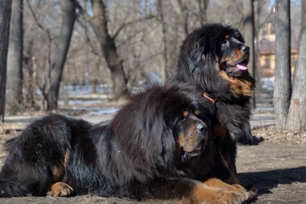 Tibetan Mastiff price also depends on the purity and quality of the bloodline
