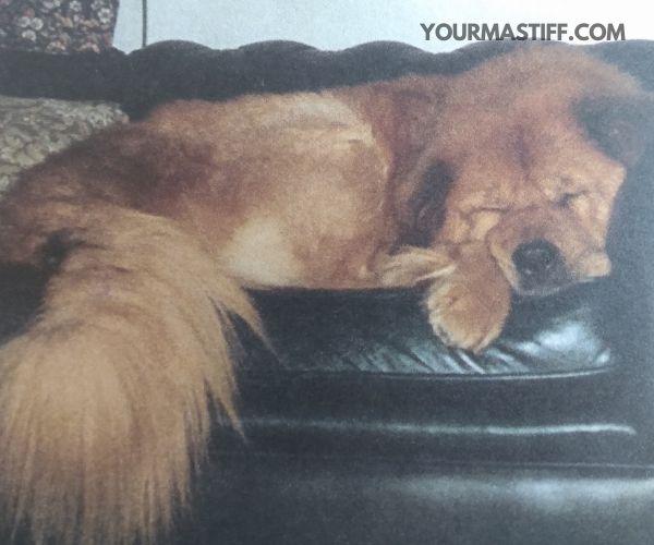 Don't adopt a Tibetan Mastiff as a status item